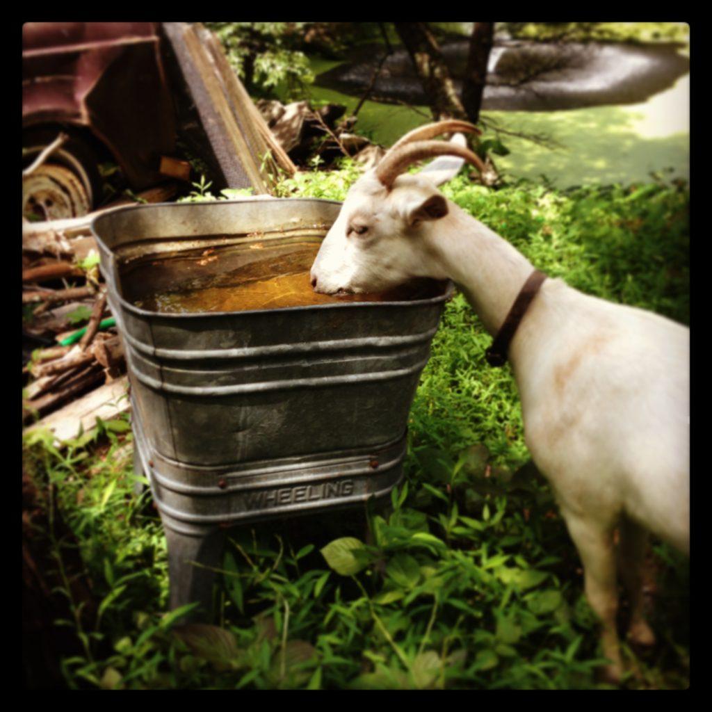 goat drinking