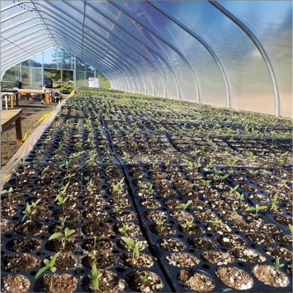 hemp seedlings under greenhouse tent