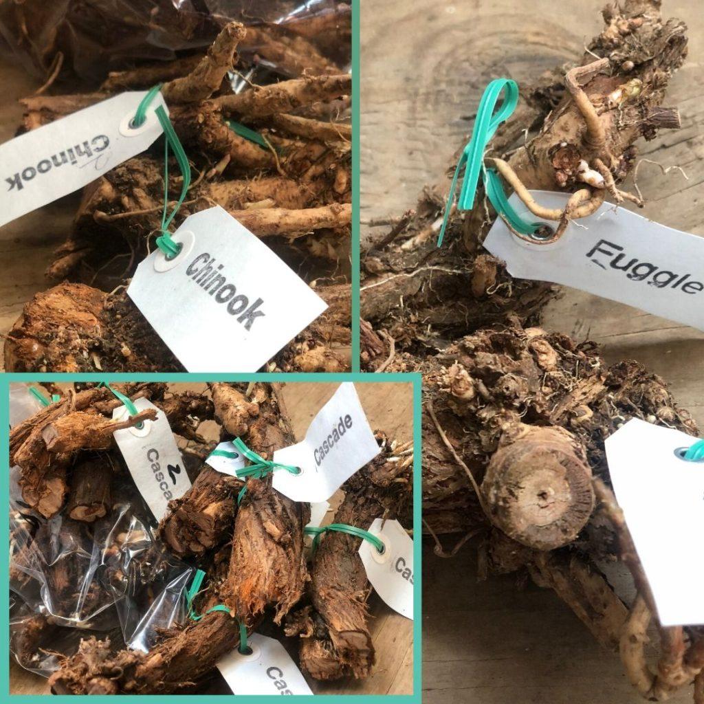 4 kinds of Freshop rhizomes