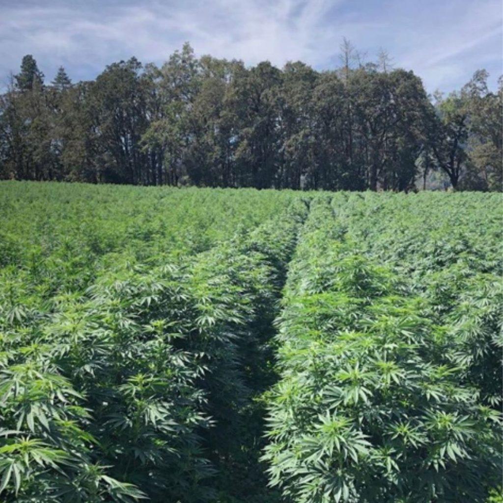 hemp growing on a farm