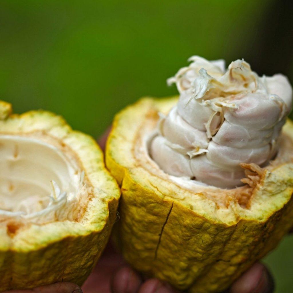open cacao pod